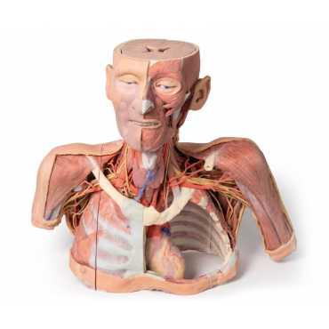 Anatomie 3D Kopf, Hals und Schulter mit Angiosomen