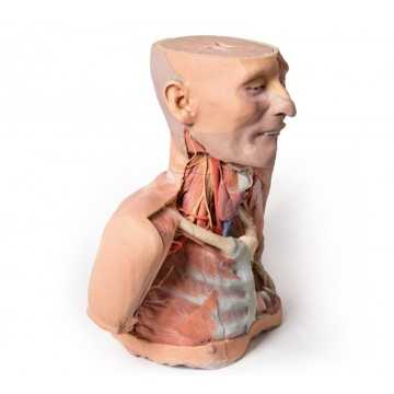 Anatomy 3D Head, Neck and Shoulder with angiosomes