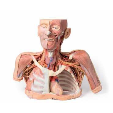 Anatomía 3D de cabeza, cuello y hombro con angiosomas